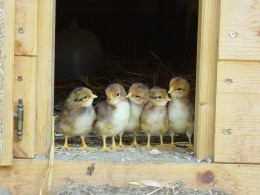 Baby Chicks About To Venture Out Into The Barn Yard For The First Time In This Photo.