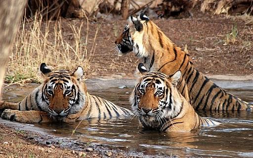 Tigers at Ranthambore