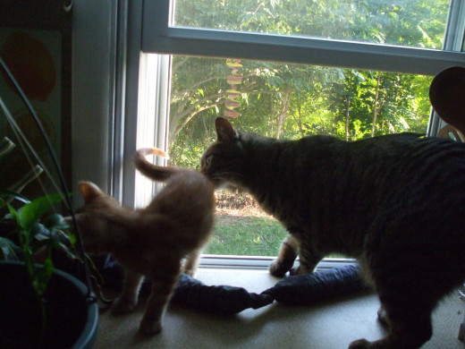 Big brother cat and new kitten know that a kitchen window is meant for them.