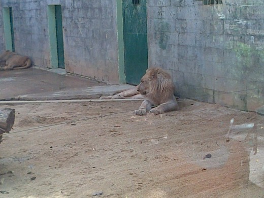 King Mufasa and his brother Simba @ the Emperor Valley Zoo Trinidad W.I.