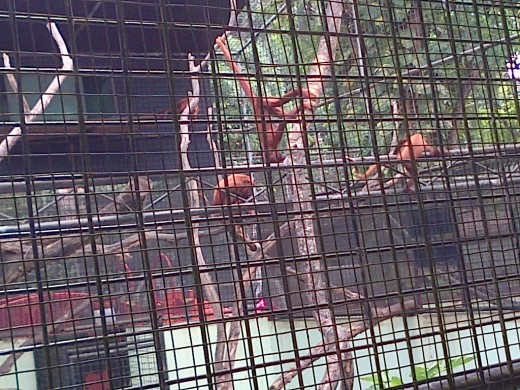 Orange Monkeys @ Emperor Valley Zoo Trinidad