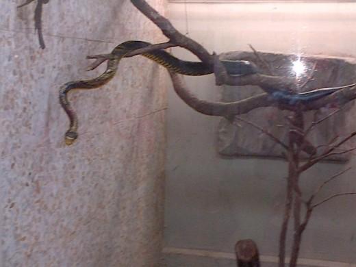 Yellow belly snake @ Emperor Valley Zoo Trinidad