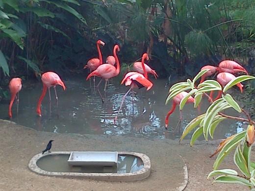 Flammingos @ the Emperor Valley Zoo Trinidad W.I.
