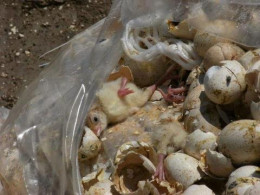 Suffocated male chicks in a plastic bag.