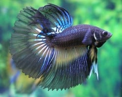 Betta Fish History and Facts