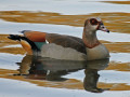 The Egyptian Goose of Africa
