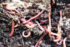 How to fertalize with worm castings