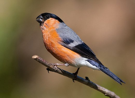 A male bullfinch, note the bill specially adapted for picking buds off the tips of branches.