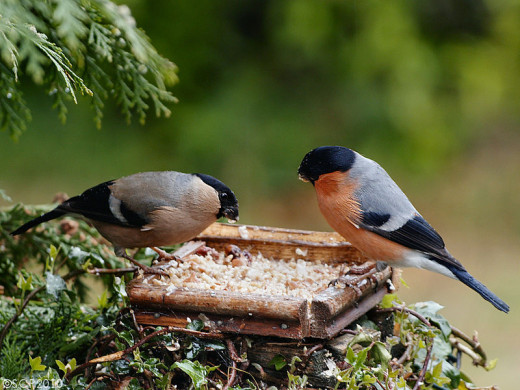A female bullfinch (left) and a male (right) feeding at a bird table.