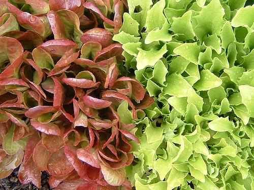 Lettuce is very easy to grow, and is a work of art in the garden.
