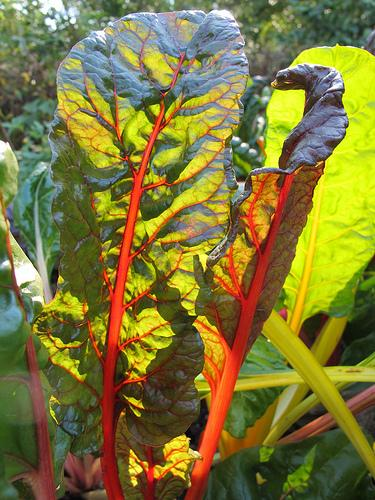 Chard is simple, attractive, and an excellent addition to soup.