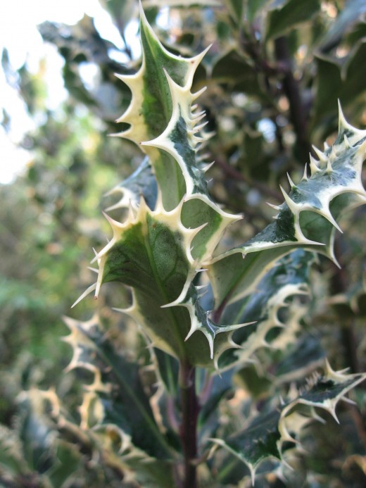 An English Holly with variegated leaves.