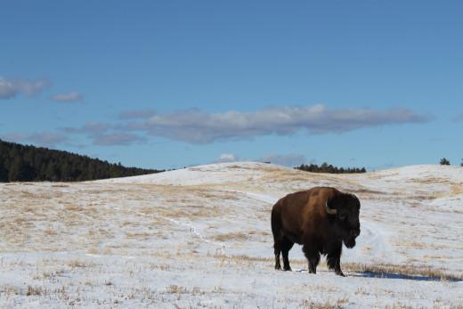 Custer Park_South Dakota_Bison