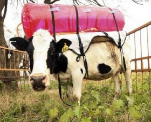 Scientist in Argentina utilize biogas balloons to determine how much gas cows produce.