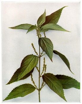 Stinging Nettle is one of my favorite remedies for allergies.