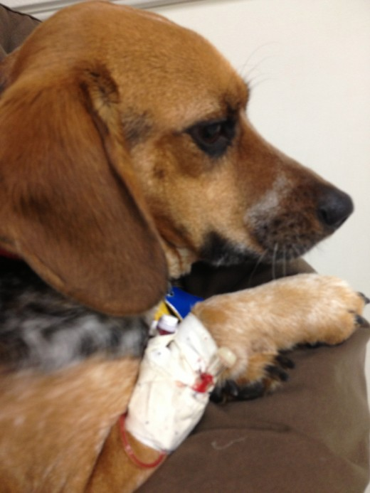 Penny - Day 2 at the animal hospital, mid blood transfusion.
