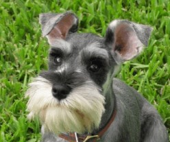 Dog Breeds With Goatees, Beards and Mustaches