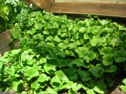 Gotu Kola - A Wonder Herb