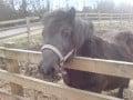 The Shetland Pony