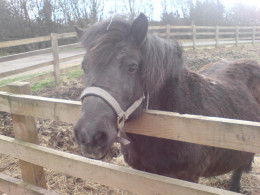 A picture of a Shetland pony I've taken at Sandwell Park Farm in Birmingham, UK.