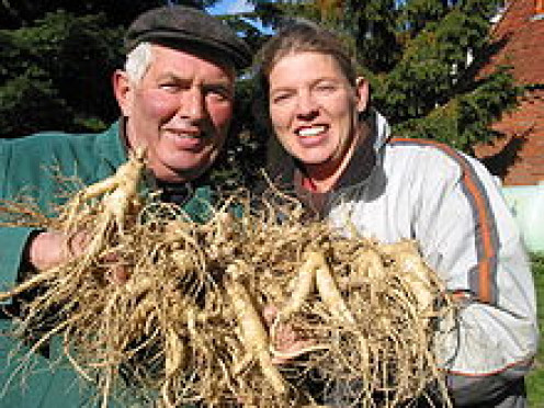 Harvested ginseng in Germany