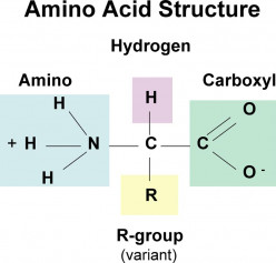 Proteins and Amino Acids - The Basics