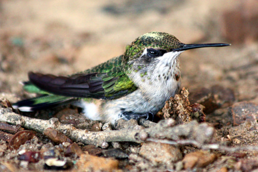 Hummingbird on the Ground