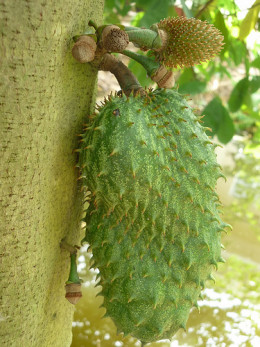 Soursop is a fruit that grows in hot climates and which has been shown to target and kill abnormal cancer cells.