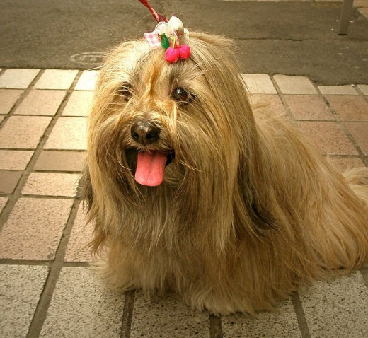 A Lhasa is a great small dog.