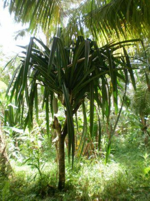 A Graviola Tree in the Philippines.