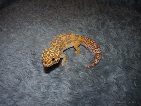 My first leopard gecko. Bella (I now have three total).