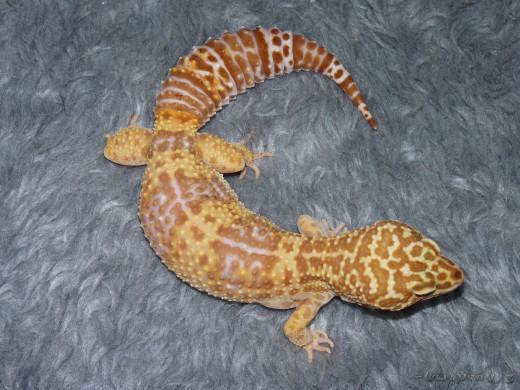 Adult Leopard Gecko