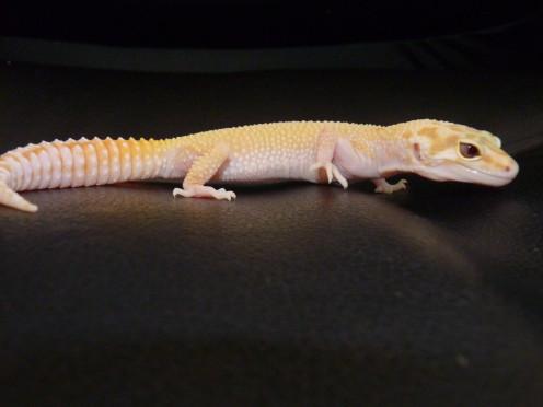 Mid-sized gecko (my third gecko, Cyrodiil).
