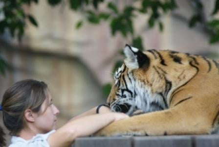 Tiger at Australia Zoo, photographed by Ralph Edgell