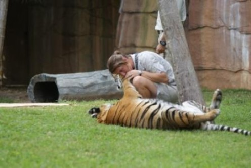 Zoo Keeper playing with Tiger at Australia Zoo, photographed by Ralph Edgell