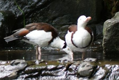 Ducks at Australia Zoo, photographed by Ralph Edgell