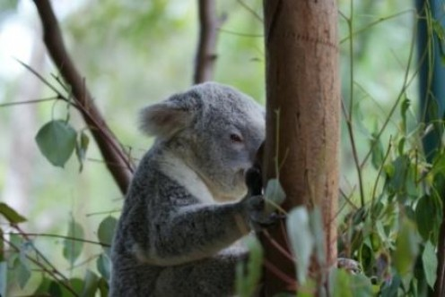 Koala Bear, Australia Zoo, photographed by Ralph Edgell
