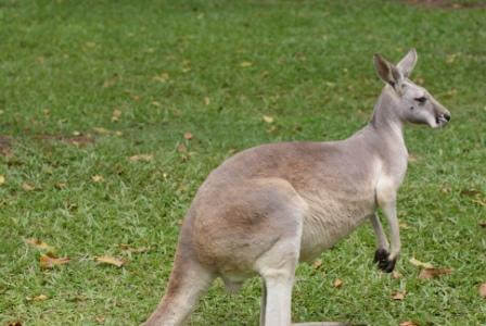 Kangaroo at Australia Zoo, photographed by Ralph Edgell