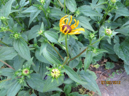 Black Eyed Susan beginning to bloom