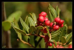 Source of Mastic Gum which will cure peptic ulcers