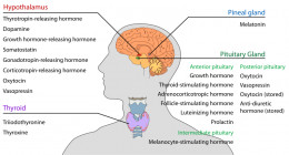 This is a list of the hormones found in the endocrine glandes on the nervous system