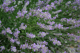 Lavender attracts bees and other pollinating insects.