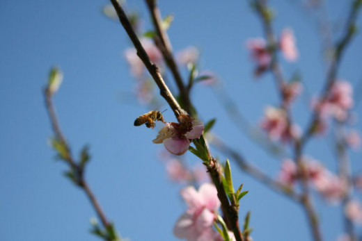 Bee pollinating peach tree blossom.