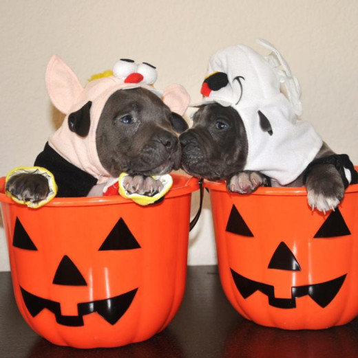 Even these pitbull puppies know that trick-or-treating is serious business.