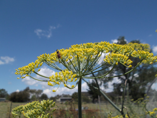 Fennel repels many pests but attracts bees.
