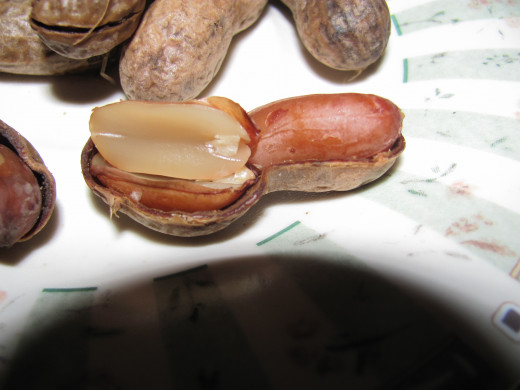 up close look at the transparency of the peanut when it is ready to be eaten - there is no white left, just universal transparency