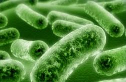 Lactobacillus acidophilus.