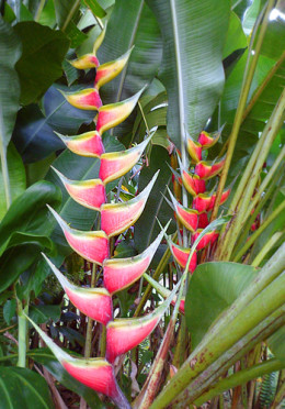 Pink parrot heliconia (Heliconia sp.)