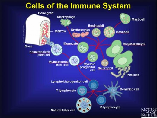 Cells of the Immune System.  It's so complex it's enough to make you weep, but fortunately we don't have to uderstand it in order to stay healthy - we just need a good diet and a little exercise. Public Domain Image from the US NIH.