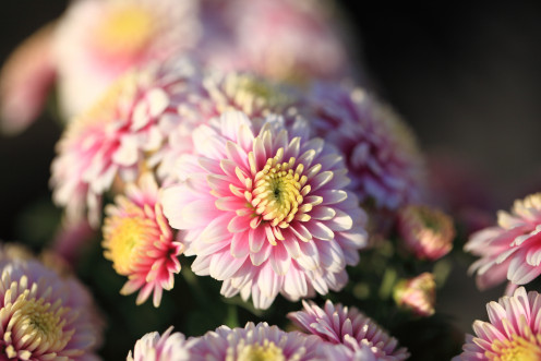 The chrysanthemum, the flower of wealth